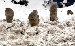 Маймунски студ в Индия. Зимата предизвика затруднения не само за хората, но и за животните. Тези маймунки чакат някой или нещо на пътя между зимната и лятната столица на Кашмир - Джаму и Шринагар, който беше затворен заради обилните снеговалежи. Пътят е единствената връзка на Кашмирската долина с останалата част от страната.