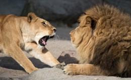 Лъв и лъвица в зоологическата градина в Хамбург, Германия.
