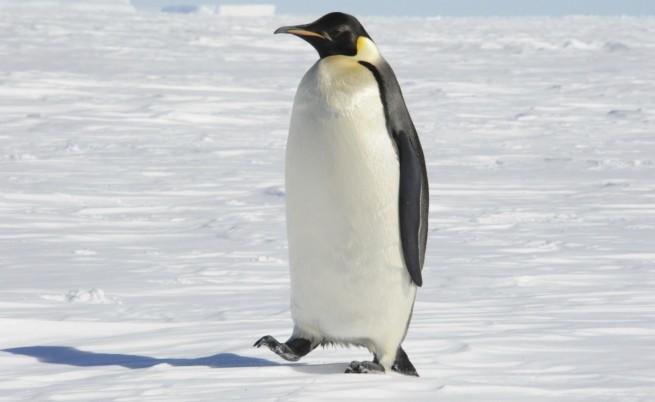 655-402-imperatorski-pingvin.jpg
