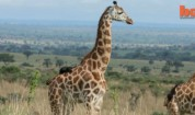 Застрашен жираф спасен от бракониери