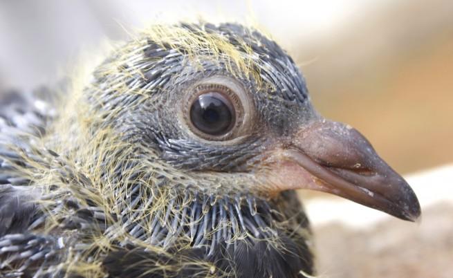 Бебе гълъб
