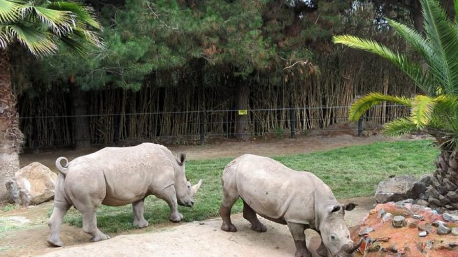 Изтребват носорозите в Южна Африка