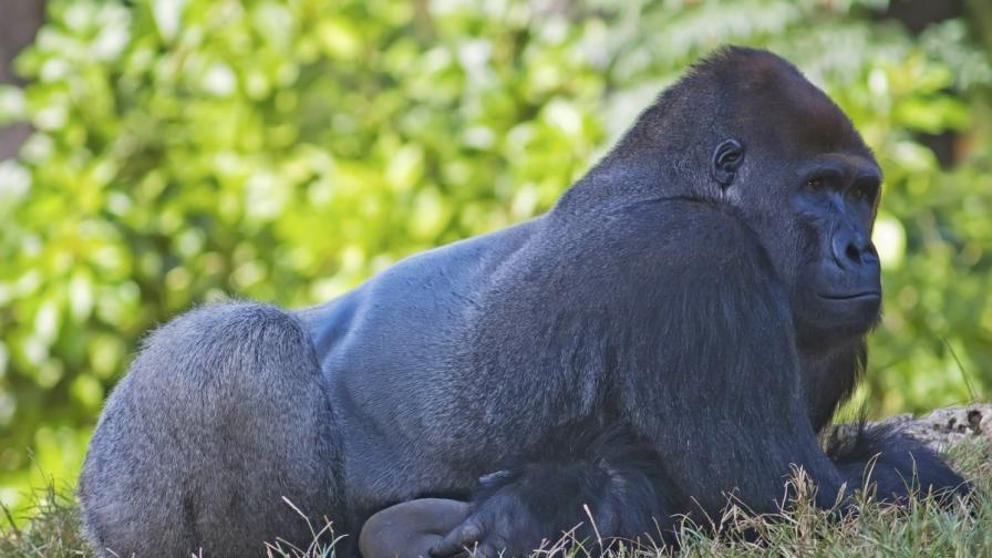 Как реагира семейство горили на гъсеница (видео)