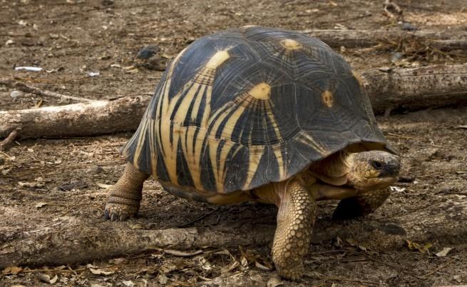 Мадагаскарска костенурка