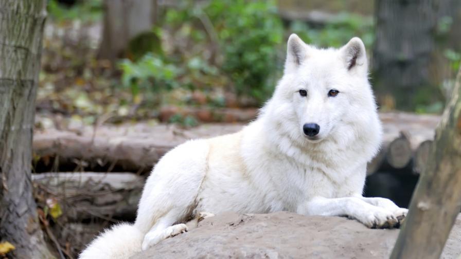 Вълк ухапа момиченце в белградския зоопарк