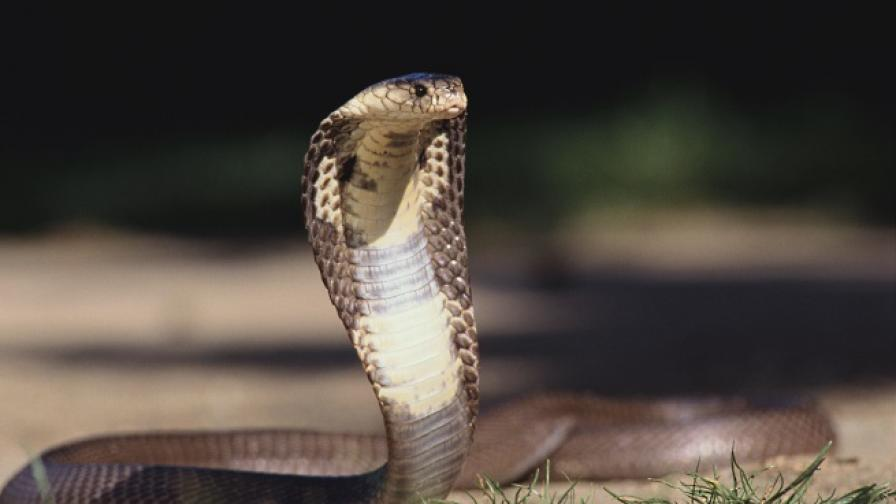 Индонезийци пият кръв от кобра за по-голямо либидо