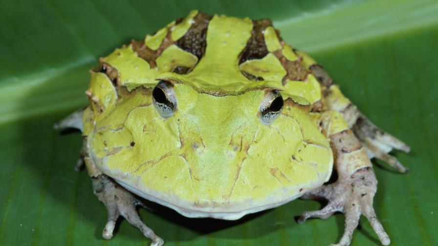 Колко силен е езикът на жабите?