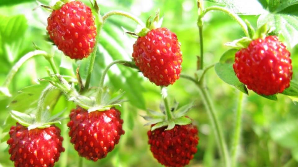Здравословните качества на горската ягода