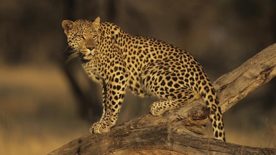 Леопард рани 6-ма в индийско училище