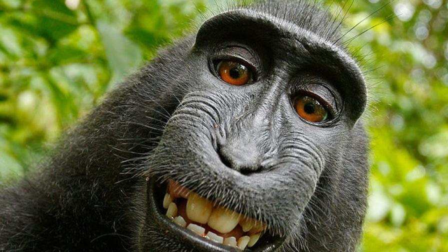 Автопортретът на маймуната с фотоапарата на Дейвид Слейтър