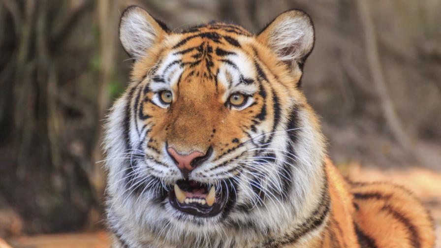 Издирват тигър-беглец край Париж