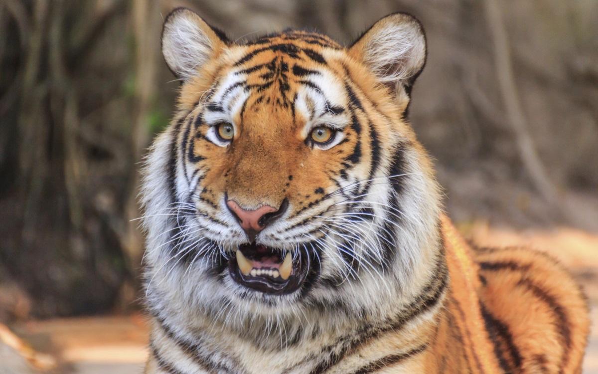 <p><strong>Когато човекът стане опасен за животните</strong></p>  <p>Но не само човекът може да се зарази от животните, а и обратното. В зоопарк в Ню Йорк бил направен положителен тест на тигрицата Надя. &quot;Това е първият случай, в който диво животно се заразява с коронавирус от човек&quot;, казва лекарят на зоопарка.</p>