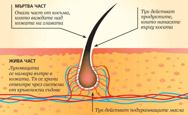 Подхранването и здравината на луковицата са решението срещу косопада