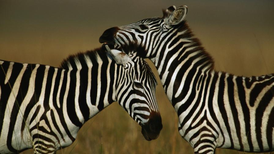 Нова теория за ивиците на зебрите
