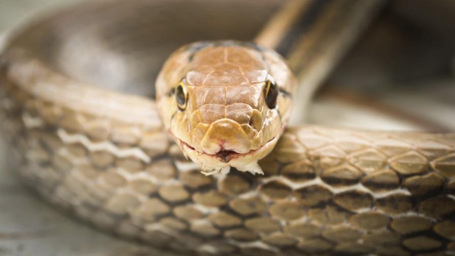 Змиите се оказаха със 70 млн. години по-стари