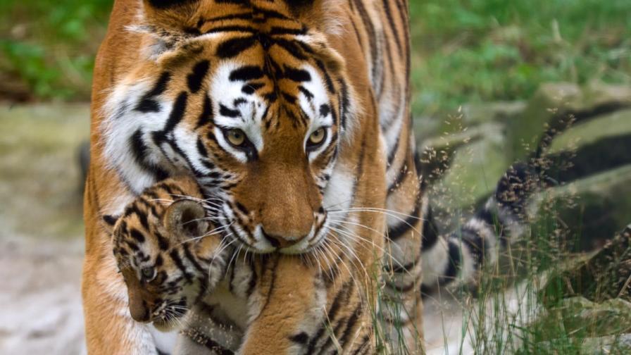 Сибирският тигър се завръща в Китай
