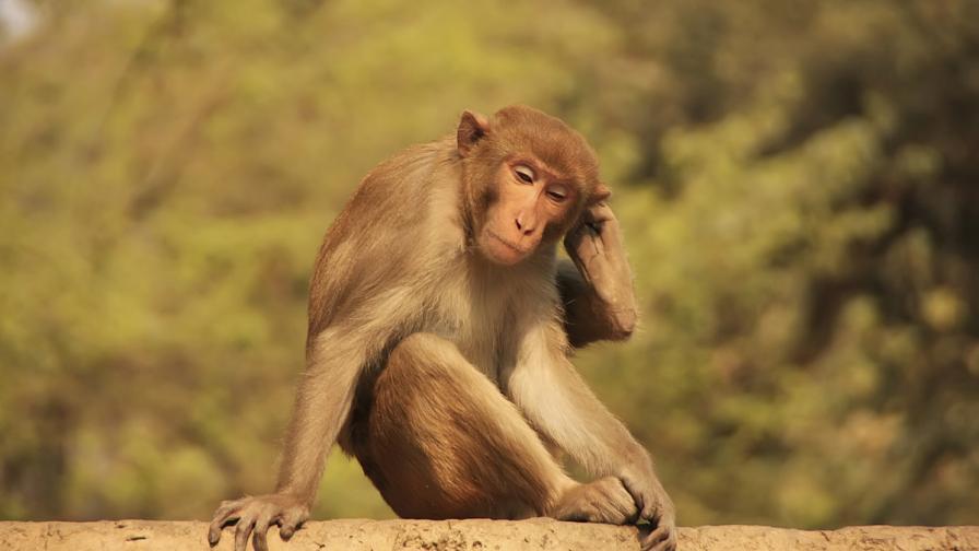 12 маймуни умряха от страх в Индия