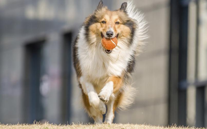 куче коли топка