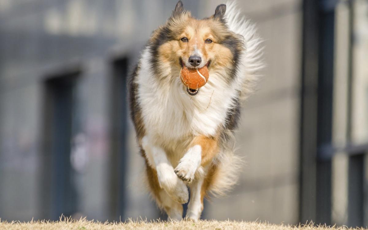 <p><strong>При кучетата е друго</strong></p>  <p>При кучетата нещата стоят малко по-различно: кучешкият организъм не е благоприятна среда за размножаване за вируса, отбелязват в изследването си китайските учени. Така че собствениците на кучета могат да продължат спокойно да извеждат четириногите на разходка.</p>