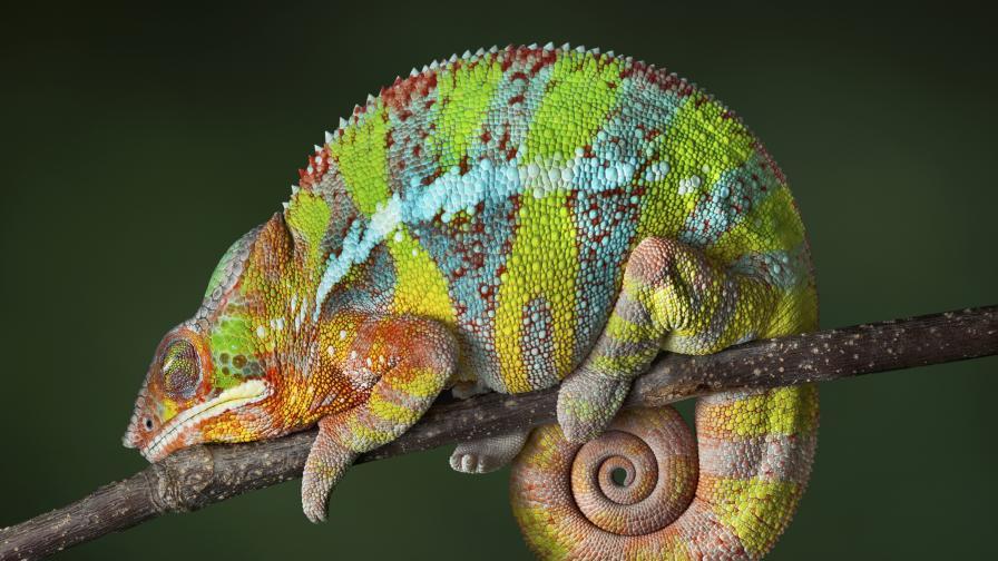 Kак точно и в какви моменти хамелеоните сменят цвета си