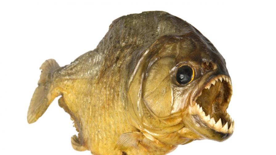 Да нахраниш хищни риби в Бразилия (видео)