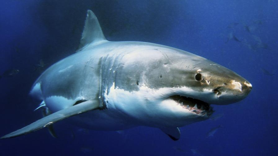 Миниатюрната акула няма почти нищо общо с огромния си събрат - бялата акула