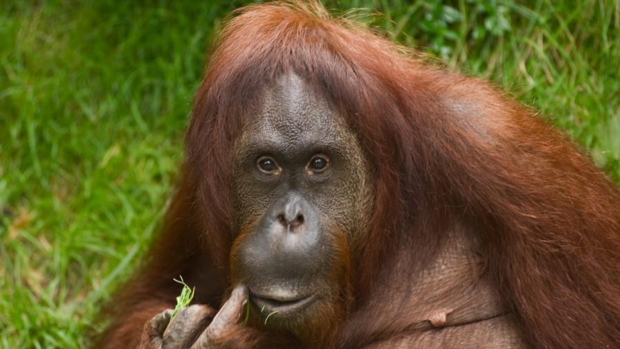 Аржентински съд разисква съдбата на орангутана Сандра