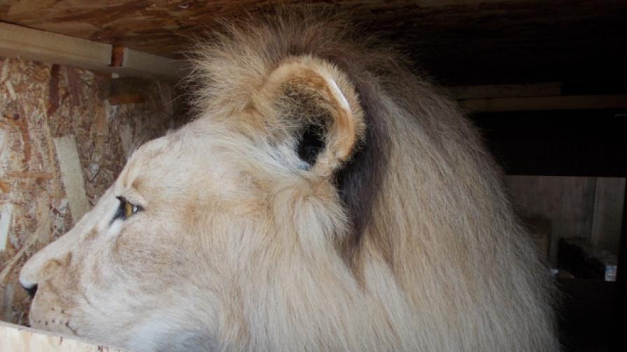 """Хванаха препариран африкански лъв на """"Капитан Андреево"""""""