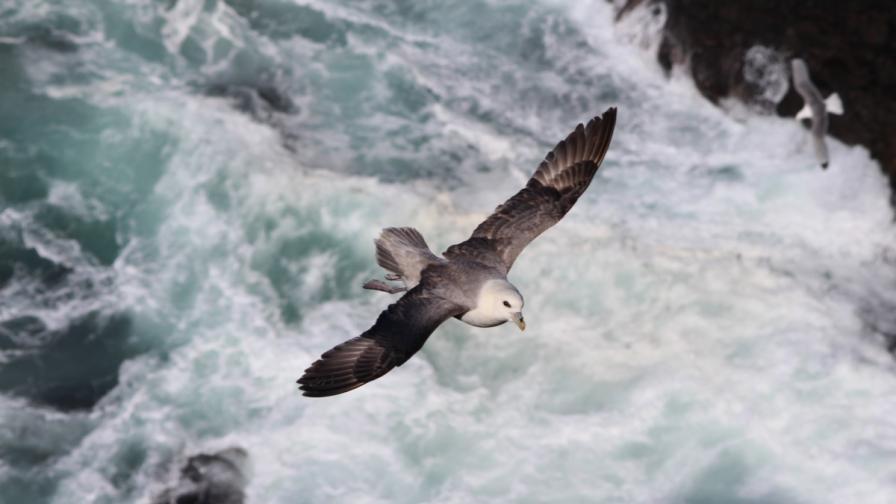 Морските птици се ориентират с обонянието си