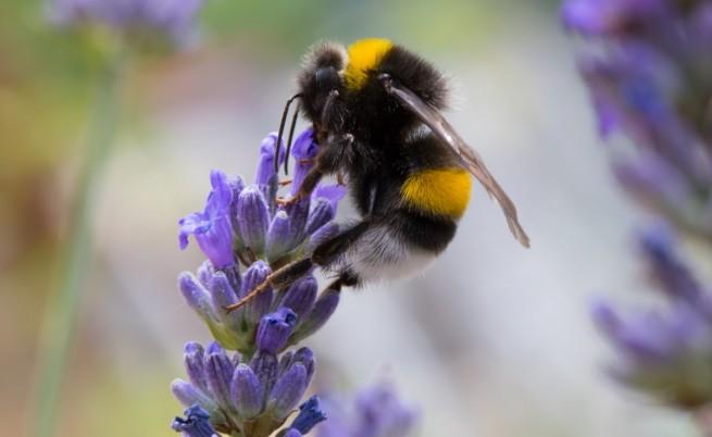 Глобалното затопляне убива пчелите