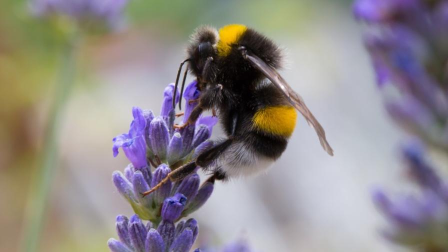 Учени научиха земни пчели да играят футбол