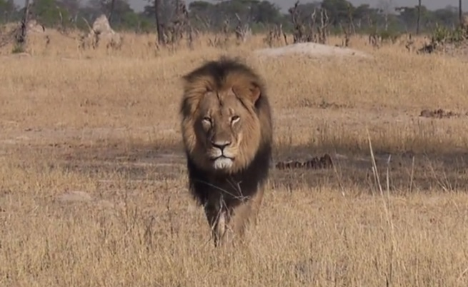 Сесил – гордостта на Зимбабве беше застрелян