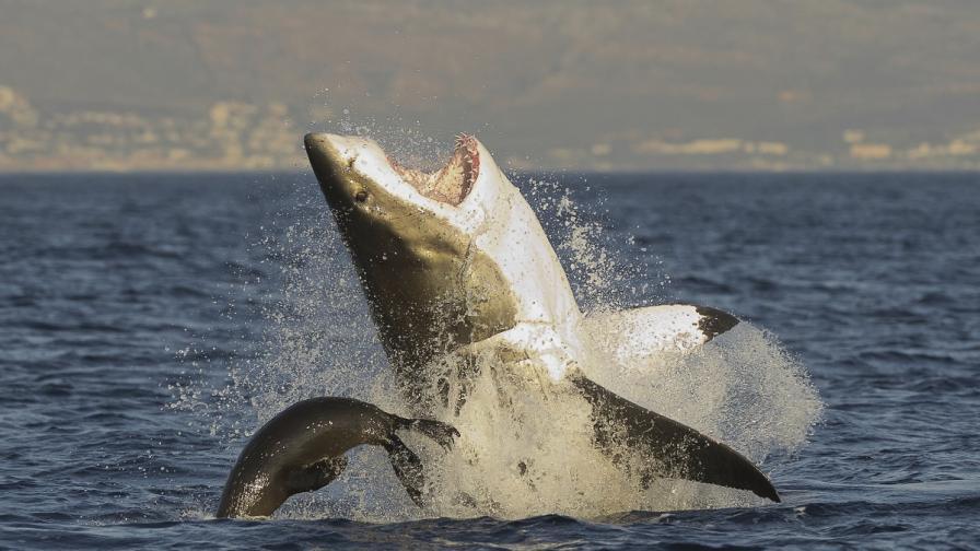Тюлен шамаросва голяма бяла акула (видео)