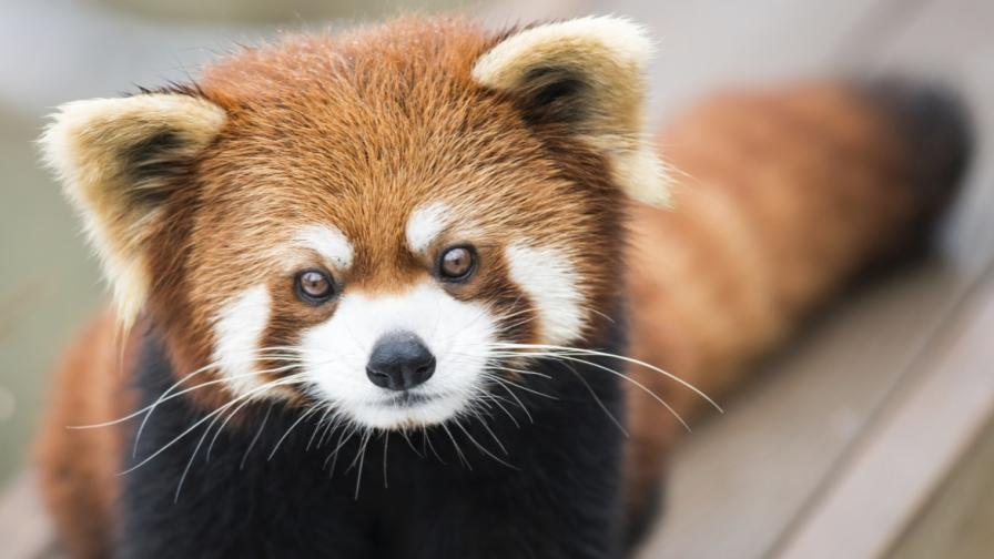 Дебютът на очарователно бебе червена панда (видео)