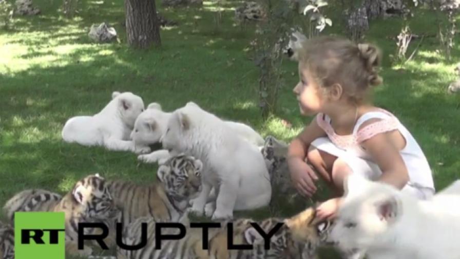 Бели лъвчета и сибирски тигърчета очароваха в Русия (видео)