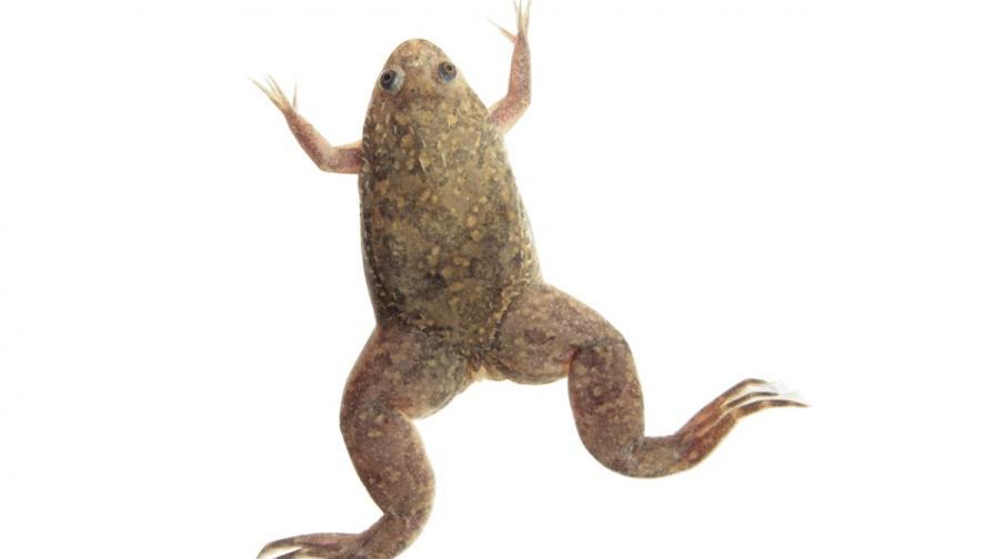 Xenopus laevis - гладка ноктеста жаба