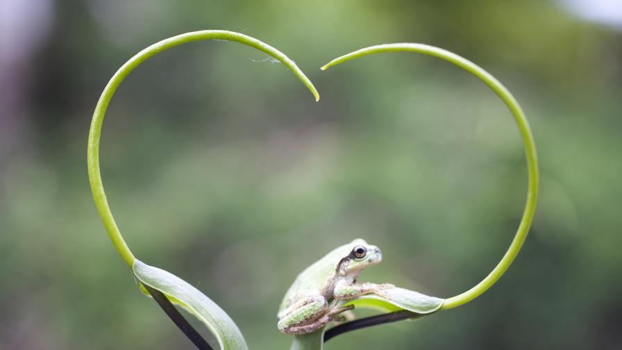 Чудото на природата: Малки жабки живеят в капки