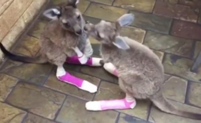 Запознайте се с игриви бебета кенгура, спасени от пожар (видео)