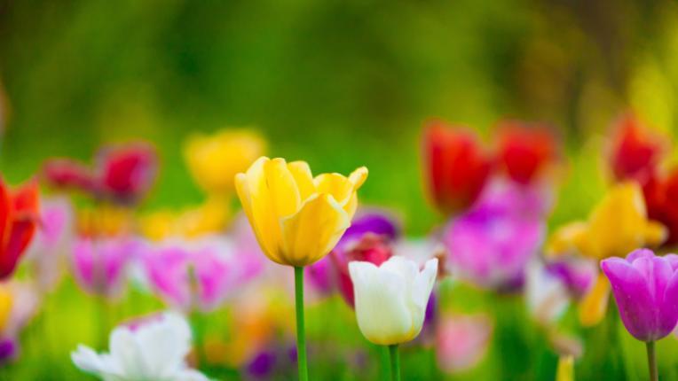 лалета пролет