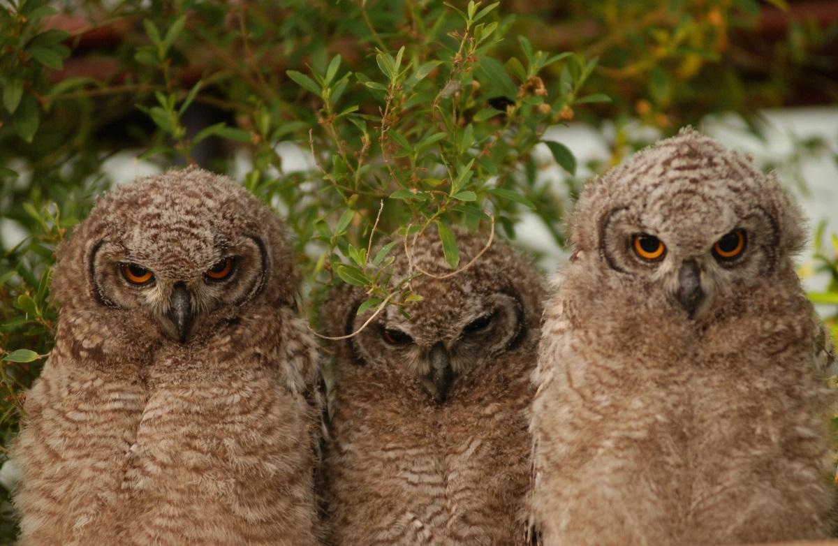 Група от сови се нарича парламент. Ако ще имаме група животни, които искат да управляват страната ни, по-добре това да са сови.