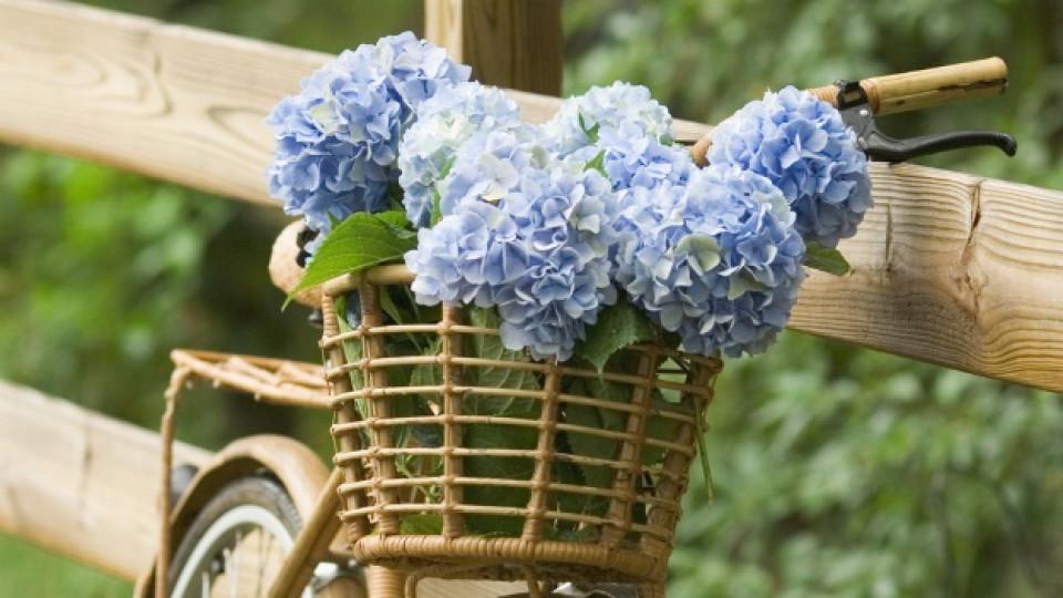 Японската принцеса на цветята: хортензията