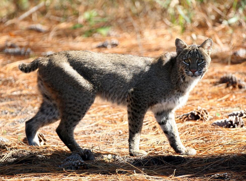 - Американският рис (Lynx Rufus) е дива котка, която се среща в Северна Америка. Предполага се, че е възникнала като вид преди 1,80 милиона години. Има...