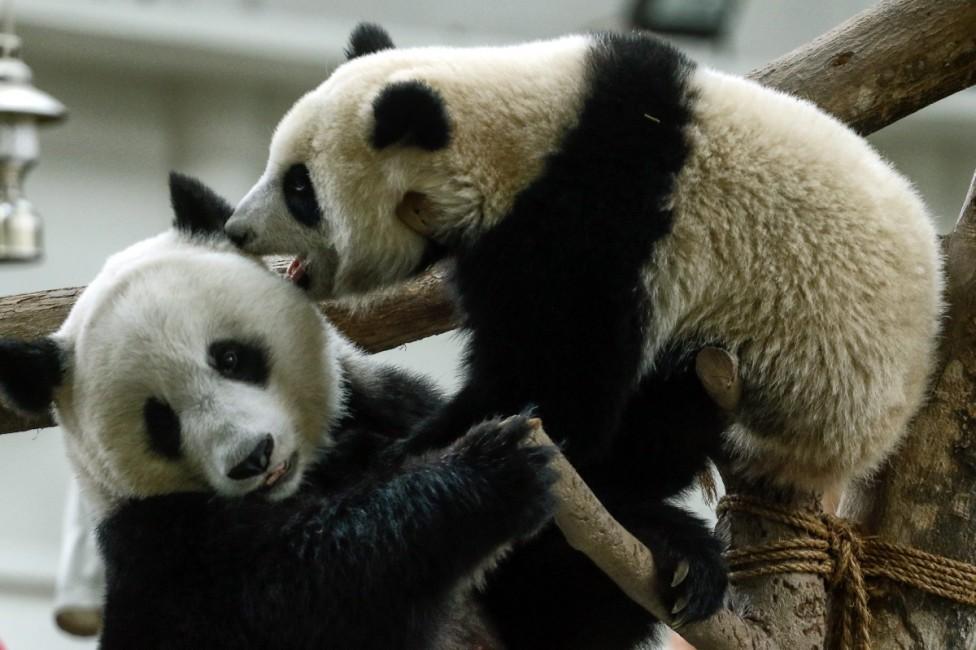 - Човек, възбуждащ панди - Една от задачите на хората, грижещи се за пандите, е да окуражават животинките да се размножават. Те им дават виагра и им...