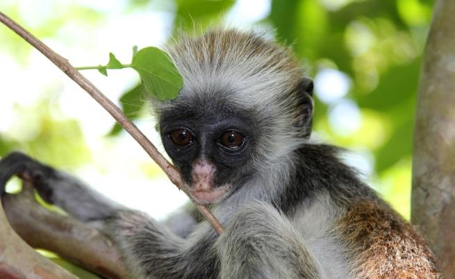 Червеноопашата маймуна