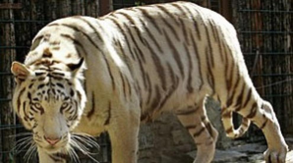 Умря последният бял тигър в зоопарка в Синсинати