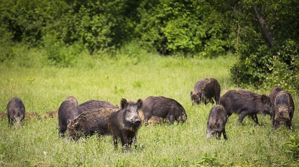 Обявени са нови огнища на африканска чума при диви свине на територията на...
