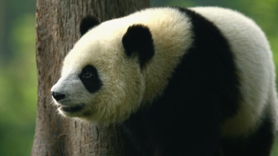 Архив: Голяма панда