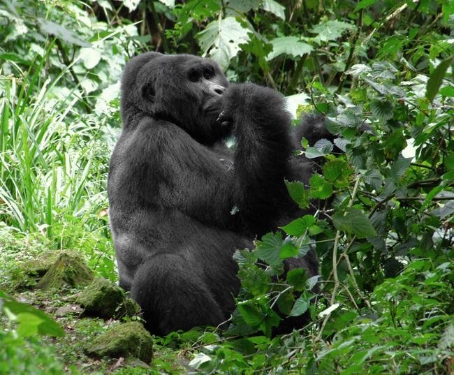 Източна планинска горила
