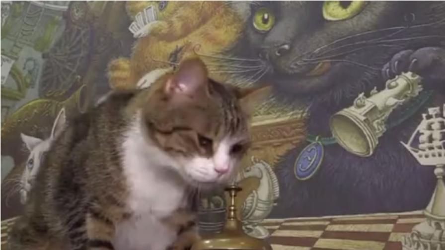 Котка пресмята математически задачи (видео)
