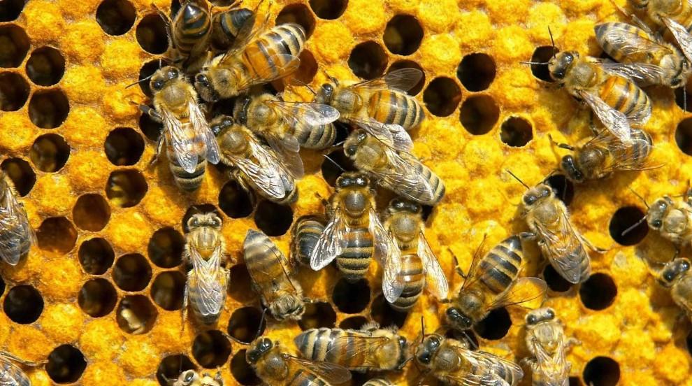 Пчеларите се оплакаха от висока смъртност на пчелите и кражба на кошери